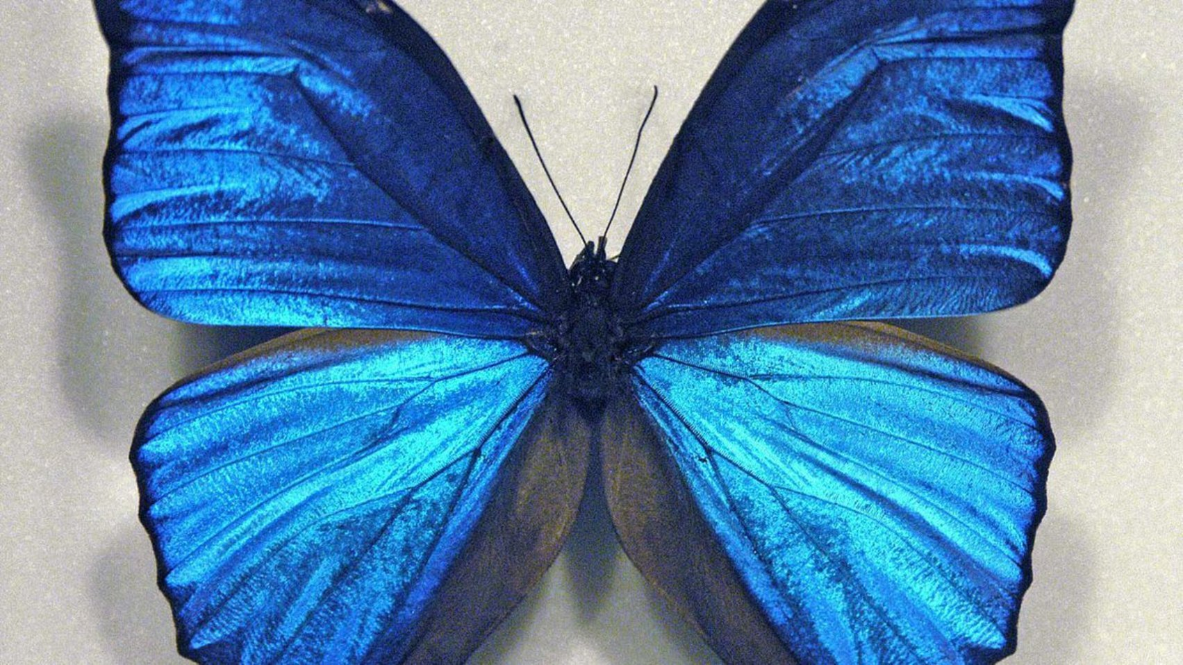 blue_butterfly_wallpaper_by_michellalonde-d4qypal1