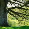 3296505-an-old-oaktree-in-spring-light